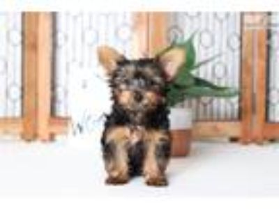 River- Loving Little Male ACA Yorkie Puppy