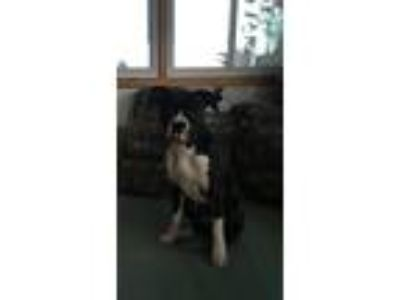 Adopt Castle a Black - with White Boxer dog in Bigfork, MN (25894769)