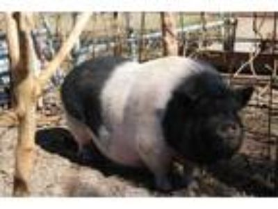 Adopt a Pig (Farm) / Mixed farm-type animal in Ocala, FL (23953144)