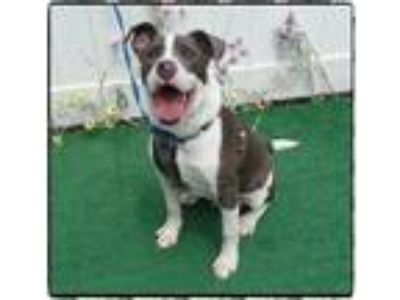 Adopt SPARKY a White - with Gray or Silver Hound (Unknown Type) / Mixed dog in