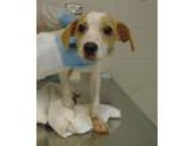 Adopt Bruce a Hound (Unknown Type) / Mixed dog in Raleigh, NC (25538685)