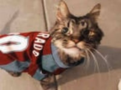 Adopt BUDWEISER a Brown Tabby Domestic Longhair / Mixed (long coat) cat in