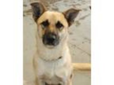 Adopt Mr. Freddie a Tan/Yellow/Fawn German Shepherd Dog dog in Windsor