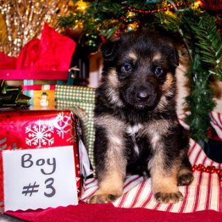 German Shepherd Dog PUPPY FOR SALE ADN-106990 - AKC German Shepherd Puppy