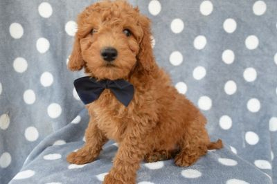 Goldendoodle PUPPY FOR SALE ADN-76751 - DUKE