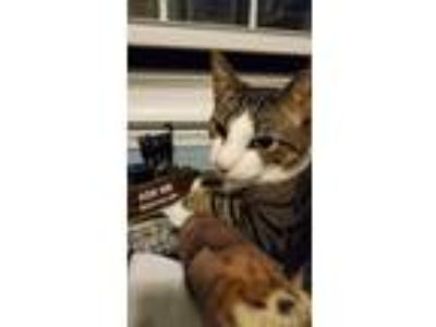 Adopt Livingston a Domestic Short Hair