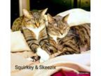Adopt Skeezix a Domestic Short Hair