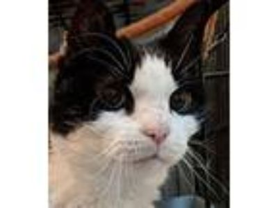 Adopt Angel II a Domestic Short Hair