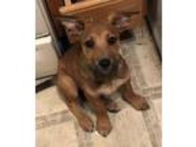 Adopt Coco a German Shepherd Dog, Labrador Retriever