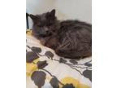 Adopt Coquetta a Gray or Blue Siamese / Mixed cat in Henrietta, MO (24697678)