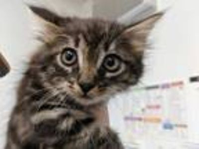 Adopt a Brown Tabby Domestic Mediumhair / Mixed (medium coat) cat in Camarillo