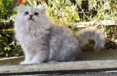 Persian kittens and savannah kittens for adoption