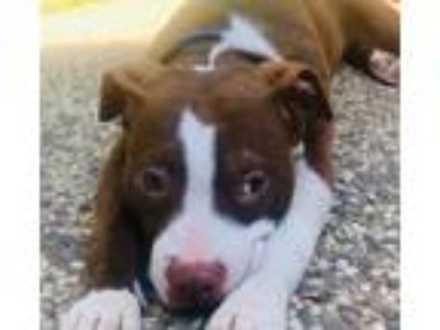 Adopt PUPPY - Dubs!! a Brindle - with White American Pit Bull Terrier / Mixed