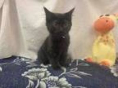 Adopt BERNADETTE a Domestic Medium Hair