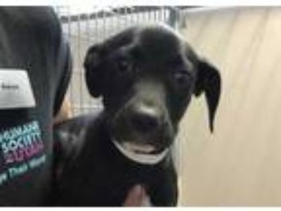 Adopt COCO a Black - with White Labrador Retriever / Mixed dog in Murray