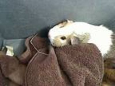 Adopt SOFT a White Guinea Pig / Mixed small animal in Rancho Cucamonga