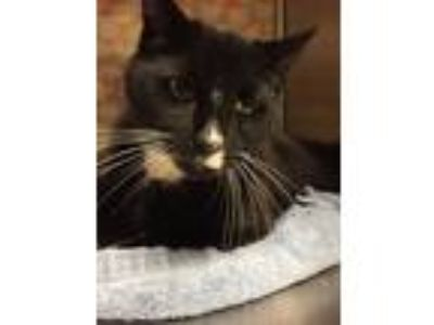 Adopt Sully a Black & White or Tuxedo Domestic Shorthair (short coat) cat in