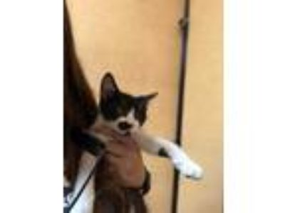 Adopt Pig a All Black Domestic Shorthair / Domestic Shorthair / Mixed cat in