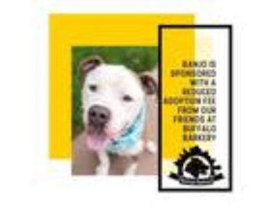 Adopt Banjo a Pit Bull Terrier