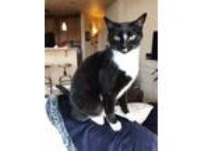Adopt Stella a Black & White or Tuxedo American Shorthair / Mixed cat in