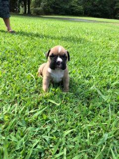 Boxer-Valley Bulldog Mix PUPPY FOR SALE ADN-95195 - Valley Bulldog puppies