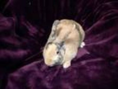 Adopt Harper a Other/Unknown / Mixed rabbit in Idaho Falls, ID (25044345)
