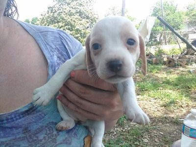 Cheagle Puppies Free  (re-homing fee)much