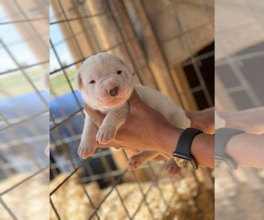 Dogo Argentino PUPPY FOR SALE ADN-129777 - Registered Dogo Argentino