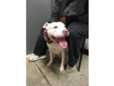 Adopt Ices a Pit Bull Terrier