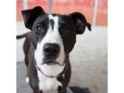 Adopt Nell (mcas) a Pit Bull Terrier