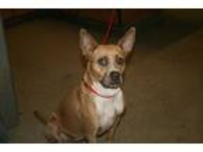 Adopt a Tan/Yellow/Fawn - with White Boxer / American Pit Bull Terrier / Mixed