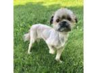 Adopt Norman-bonded to Dexter a Shih Tzu, Yorkshire Terrier