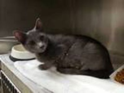 Adopt SADIE a Gray or Blue Domestic Shorthair / Mixed (short coat) cat in St.