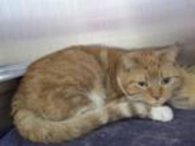 Adopt MYSTIC a Orange or Red Domestic Mediumhair / Mixed (medium coat) cat in