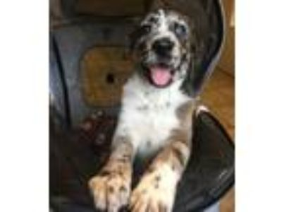 Adopt 19-043-Merlot a Sheep Dog, Catahoula Leopard Dog