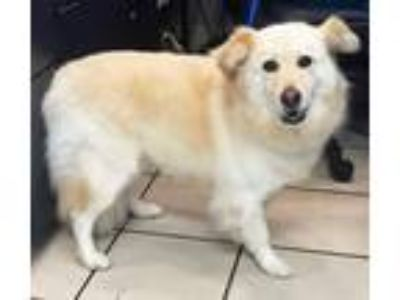 Adopt Sharley a White - with Tan, Yellow or Fawn Golden Retriever / Mixed dog in