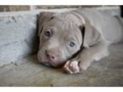 Adopt Meredith a American Staffordshire Terrier