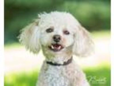 Adopt Clyde D4437 a Poodle