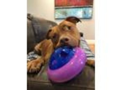 Adopt Astro a Pit Bull Terrier