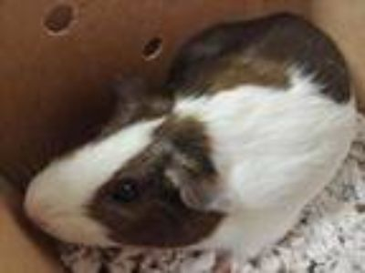 Adopt Brownie a Brown or Chocolate Guinea Pig / Guinea Pig / Mixed small animal