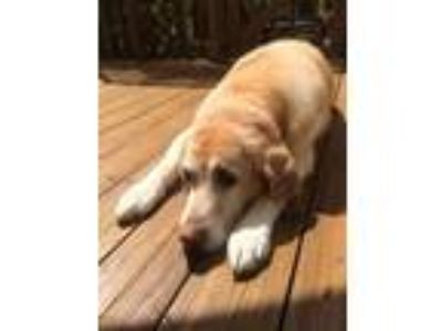 Adopt Sandy a Labrador Retriever