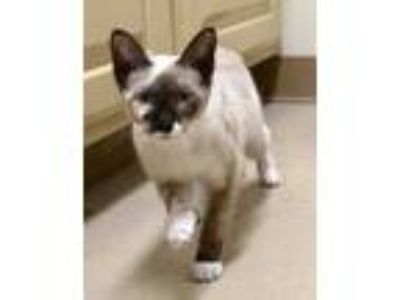 Adopt 42165401 a Cream or Ivory Snowshoe / Domestic Shorthair / Mixed cat in