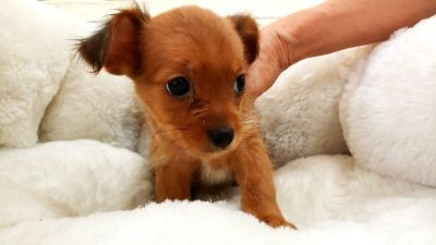 Shorkie Puppy - Female - Mandy ($1,199)
