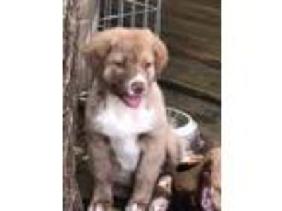 Adopt Hokey Pokey a Tan/Yellow/Fawn Australian Shepherd / Great Pyrenees / Mixed