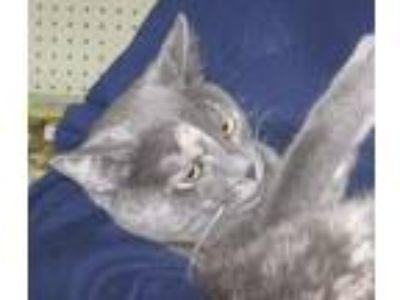 Adopt Gracie a Dilute Tortoiseshell, Domestic Short Hair