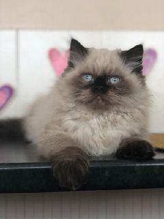 CFA Registered Persian Kittens for adoption