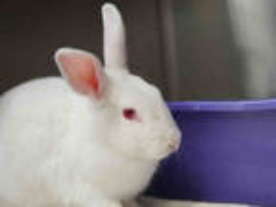 Adopt PETER a Black Other/Unknown / Mixed rabbit in Pasadena, CA (25012063)