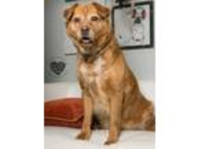 Adopt Star a Tan/Yellow/Fawn - with White Golden Retriever / Mixed dog in