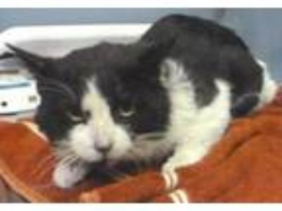 "Adopt Stray Cat ""Baloo"" a Domestic Short Hair"