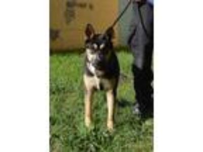 Adopt a Black - with Brown, Red, Golden, Orange or Chestnut Husky / Mixed dog in